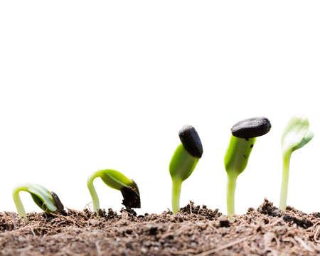zaad root op de bodem op een witte achtergrond Stockfoto
