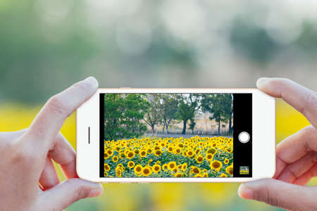 close up hand use phone mobile taking sunflower field photo