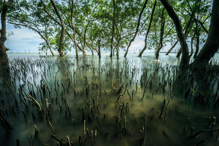 mangrove forest tropical landscape scene in thailand, long exposure shot