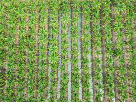 coconut agriculture farm top view taking shot from drone Stock Photo