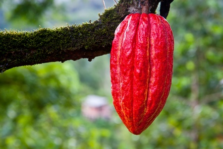 red cacao pod on tree  theobroma cacao  in Trinidad