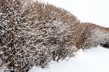 besneeuwde heg zonder de vogels