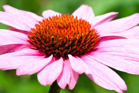 macro of a purple cone flower with beautiful pink petals Stock Photo - 19056479
