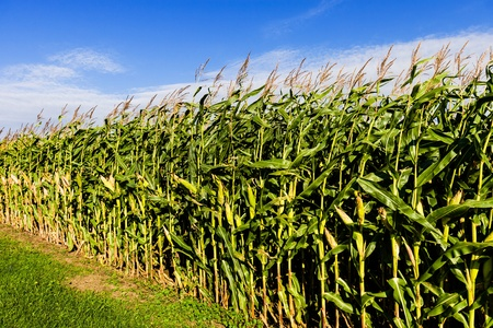 cornfield on a farm under a blue sky photo