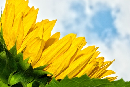 close-up of sunflower petals in summertime Stock Photo - 19279205