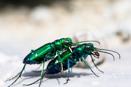 cicindela: Six-Spotted Tiger Beetle  Cicindela sexguttata  - two bugs mating