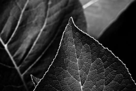 edge: leaves on the edge of abstract in black and white