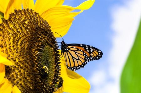 female monarch butterfly  Danaus plexippus  on a sunflower  Helianthus annuus