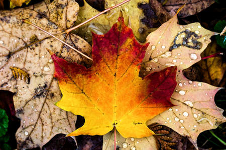 colorful leaves and rain fall in autumn