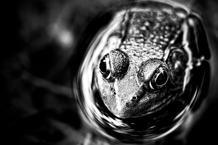 pond frog resting in water photo