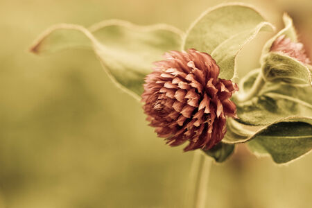 closeup of a globe amaranth flower photo