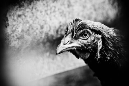 profile of a naturally raised chicken next door Stock Photo