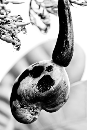 cashew inflorescence with developing fruit (anacardium occidentale) - (ana means upwards and - cardium means heart)