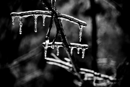 icicles on branches in winter