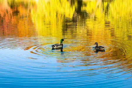 two ducks swimming in a pond during autumn