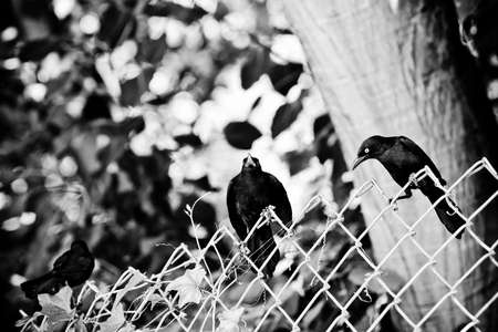 three blackbirds on a fence - front, side and back view