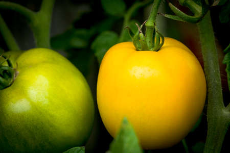 green and yellow tomato on the vine in a vegetable garden