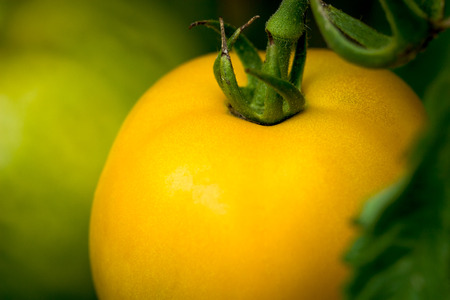 close-up of an organic yellow tomato in a vegetable garden