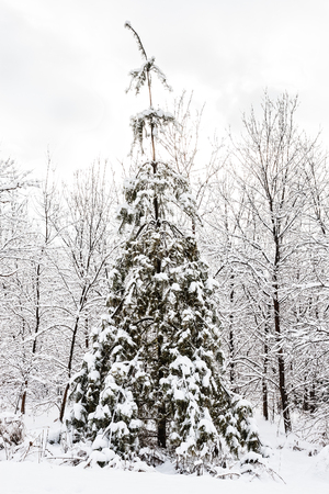 sombre: christmas tree after snowfall in a moody winter setting
