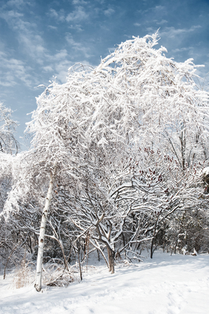 ice storm: cold blanket of snow on trees in winter after an ice storm