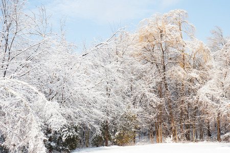snow and ice weigh on trees after an ice storm Stock Photo