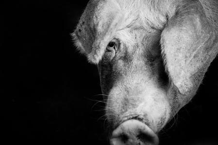 portrait of a serious pet pig on a farm
