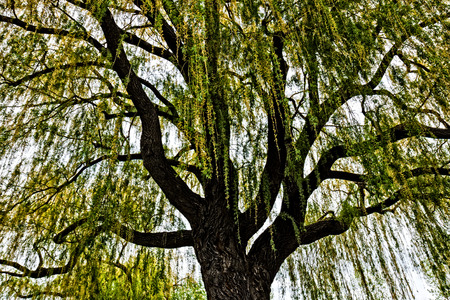 salix: weeping willow (Salix babylonica) tree in springtime Stock Photo