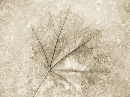 ice surface: fallen leaf under ice surface in winter