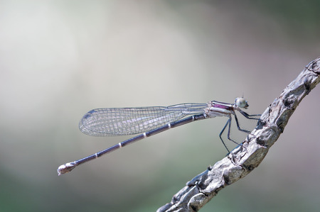 close-up of a beautiful damselfly resting on a branch