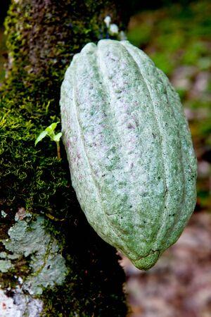 green cocoa pod on tree (theobroma cacao)