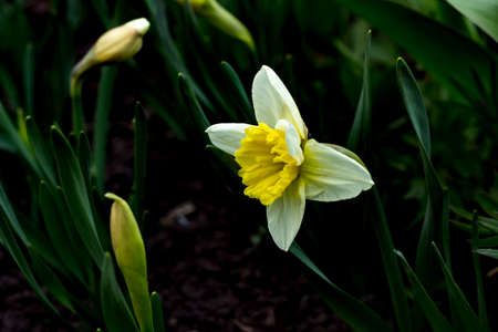 unfold: the fully opened flower Bud of a daffodil in spring