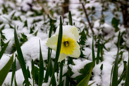 renewing: the fully opened flower Bud of a daffodil in spring in the snow