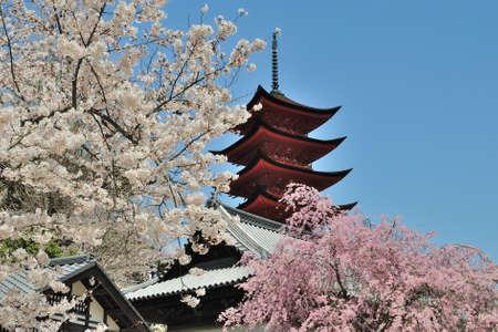 日本の寺院、白とピンクの桜