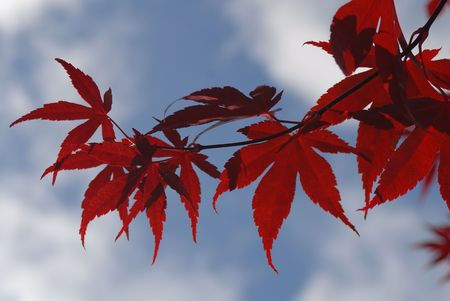 A Japanese maple in autumn, against a partly cloudy sky. Shot with minimum depth of field.