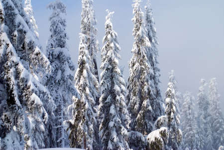 laden: A group of fir trees heavily laden with snow and ice. Stock Photo