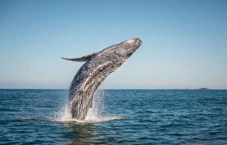 Una balena felice si infrange nell'oceano pacifico Archivio Fotografico - 61986949