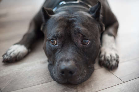well behaved: A well behaved black pitbul obediently behaves