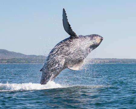 Une heureuse baleine se brise près du rivage