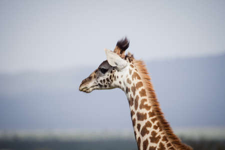 savana: A big giraffe walks on the african savanna