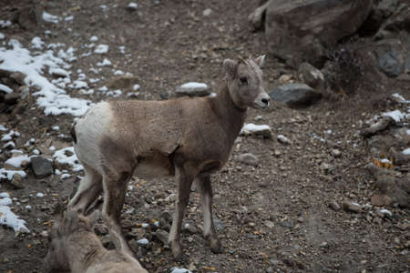 rockies: A young big horn sheep in the canadian rockies