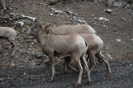 rockies: Group of big horn sheep in the canadian rockies