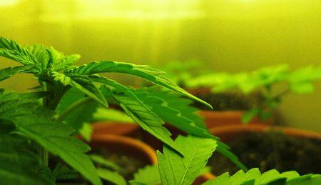 Cannabis Sativa Banco de Imagens