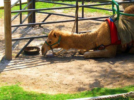 Camel Banco de Imagens