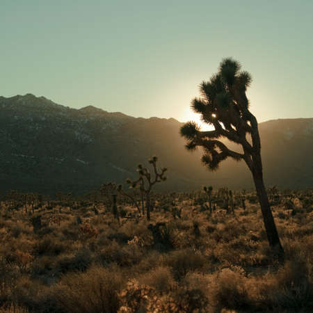 A joshua tree in Joshua Tree National Park against a setting sun, turquoise sky and mountains.