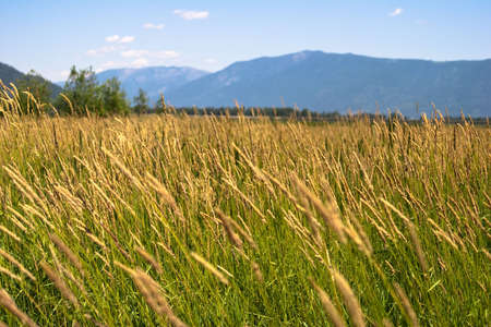 Close-up of wild grass with blue mountains in background