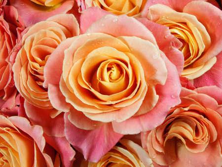 rosas amarillas: Closeup rosas de colores (rosa, amarillo, naranja). Fondo floral (gotas de agua). Foto de archivo