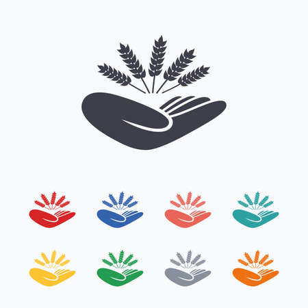 drought: Agriculture insurance sign icon. Hand holds wheat. Protection against crop failure and drought. Colored flat icons on white background. Illustration