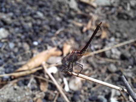 malaria: Dragonfly.