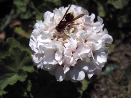 wasp, bumblebee, humblebee background unit isolate