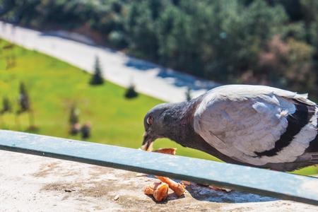 pigeon background pattern
